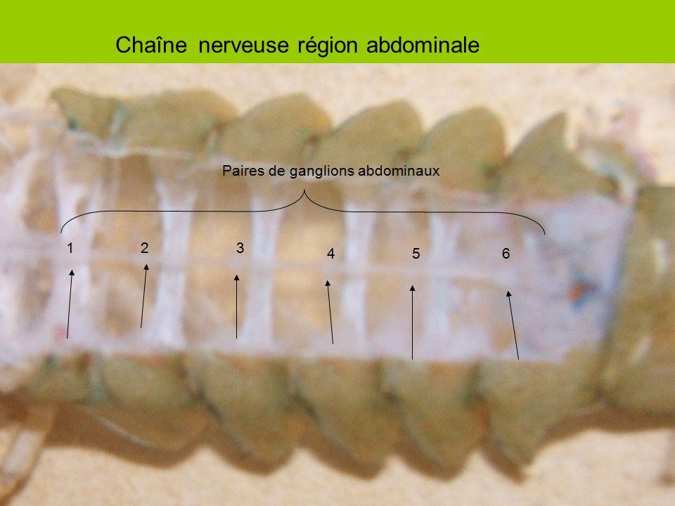 Chaîne nerveuse région abdominale
