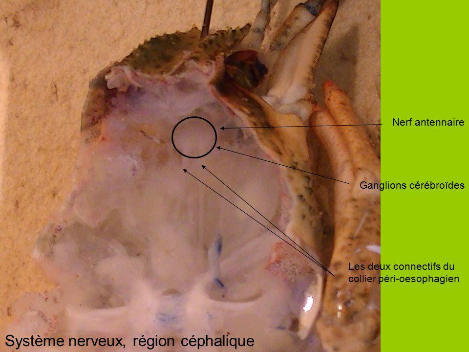 Système nerveux, région céphalique