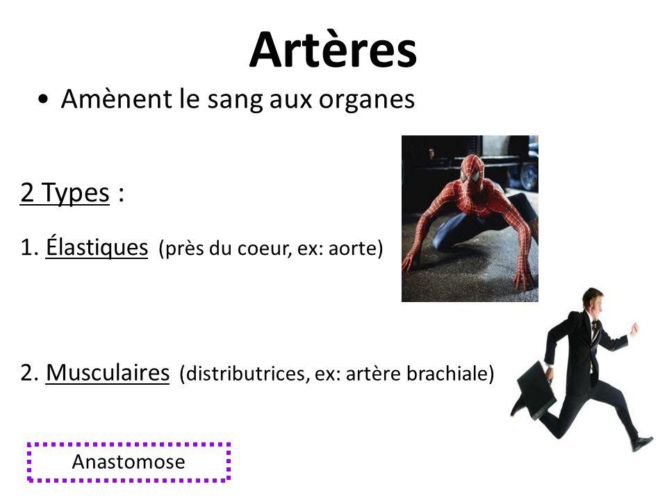 Artères Amènent le sang aux organes 2 Types :