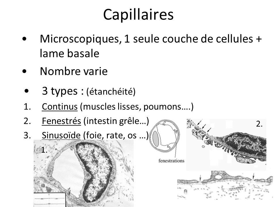 Capillaires Microscopiques, 1 seule couche de cellules + lame basale