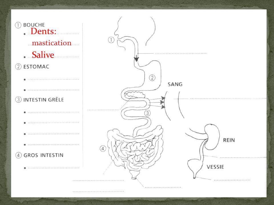 Dents: mastication Salive