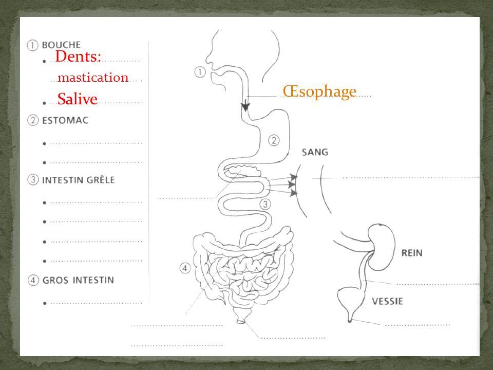 Dents: mastication Œsophage Salive