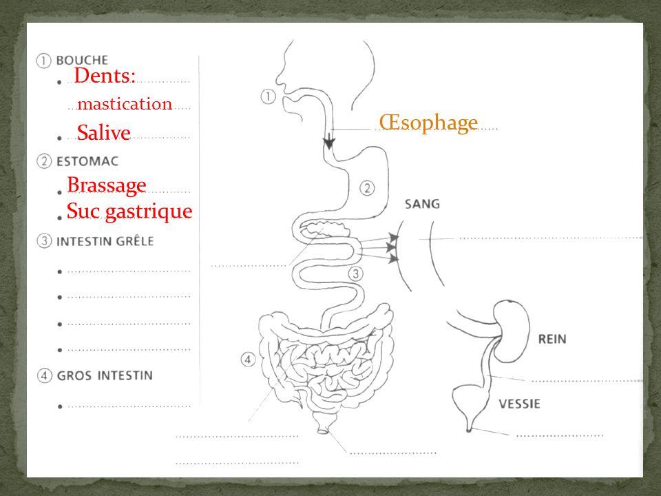 Dents: mastication Œsophage Salive Brassage Suc gastrique