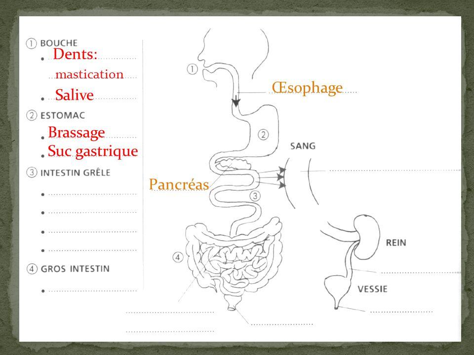 Dents: mastication Œsophage Salive Brassage Suc gastrique Pancréas