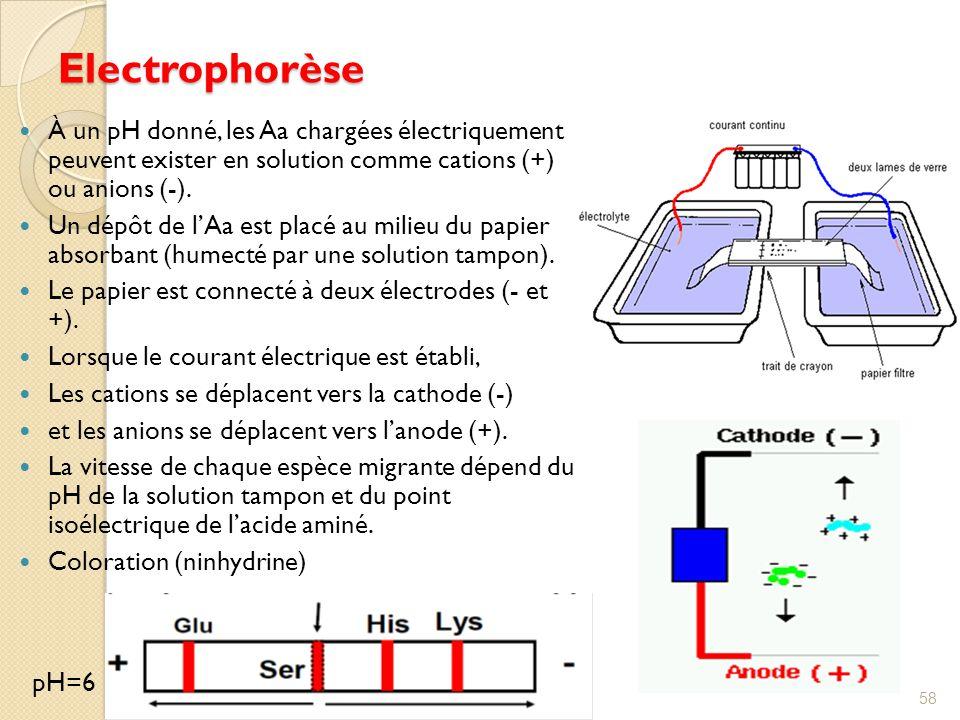 Electrophorèse À un pH donné, les Aa chargées électriquement peuvent exister en solution comme cations (+) ou anions (-).