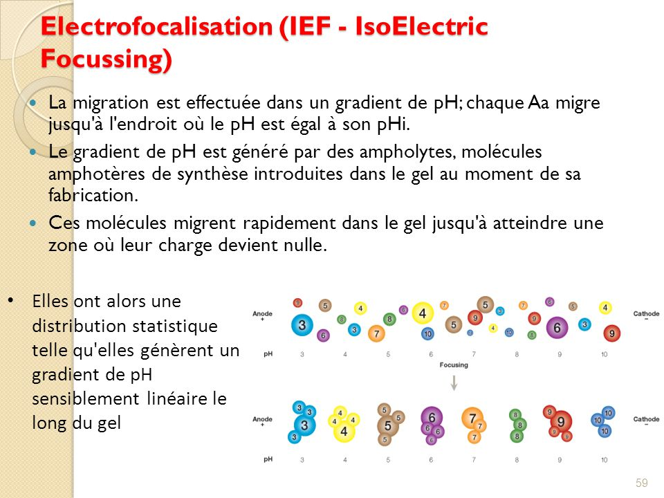Electrofocalisation (IEF - IsoElectric Focussing)