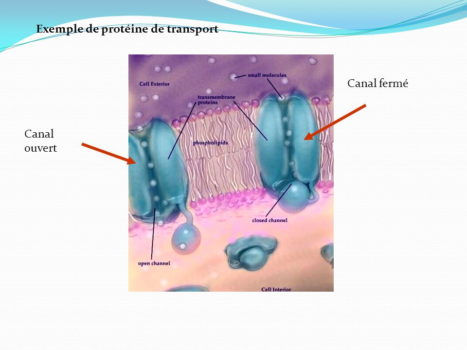 Exemple de protéine de transport