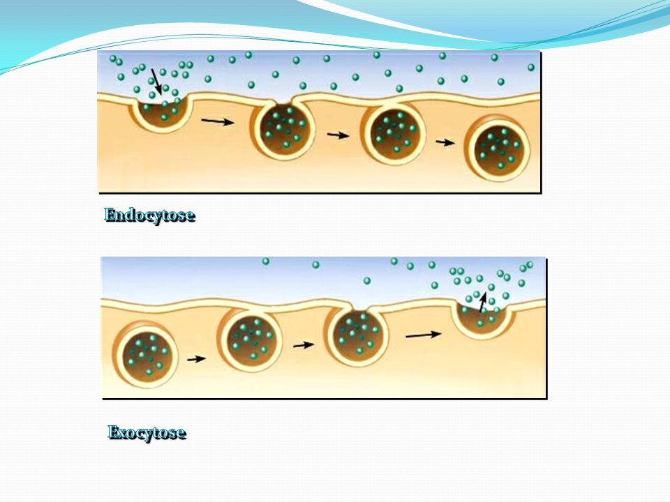 Endocytose Exocytose