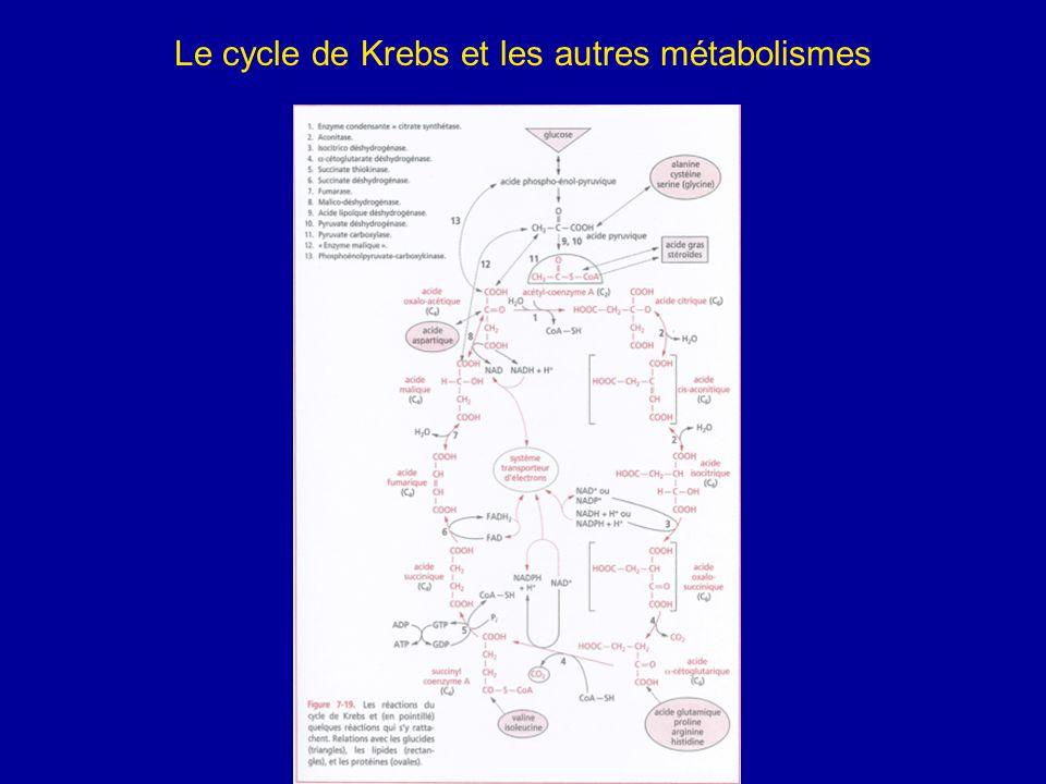 Le cycle de Krebs et les autres métabolismes