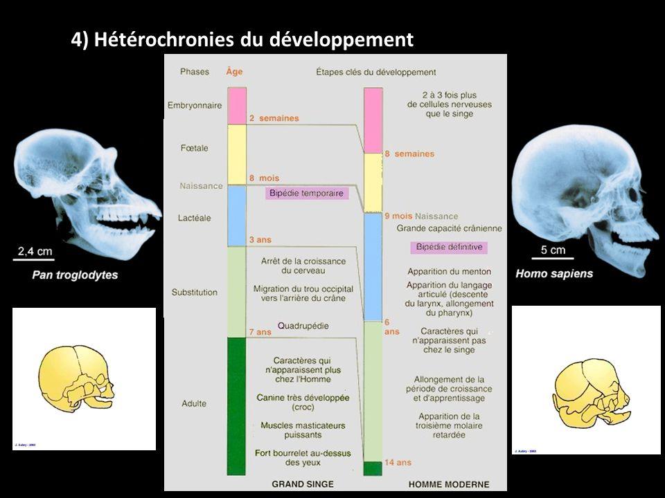 4) Hétérochronies du développement