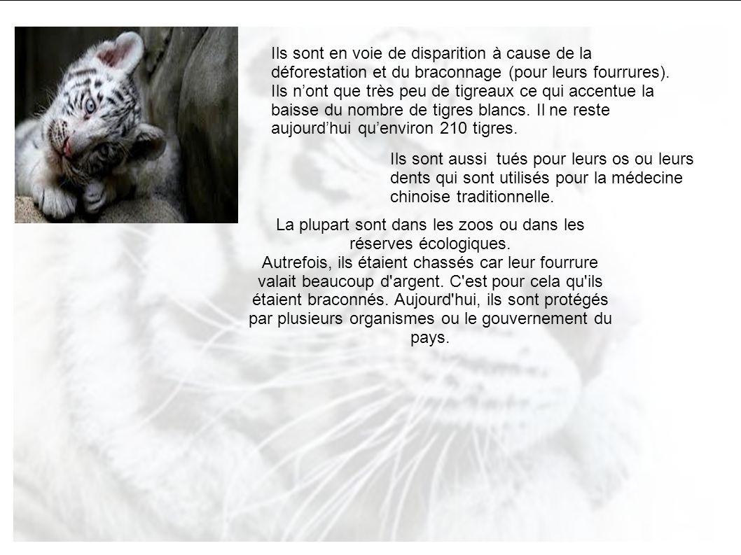 Le tigre blanc le tigre blanc se caract rise par sa robe for Ou trouver des galets blancs
