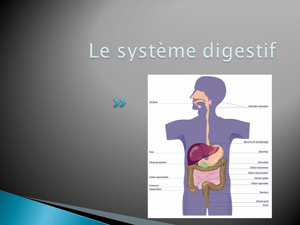 Le système digestif