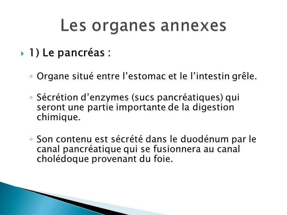 Les organes annexes 1) Le pancréas :