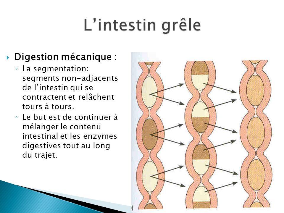L'intestin grêle Digestion mécanique :