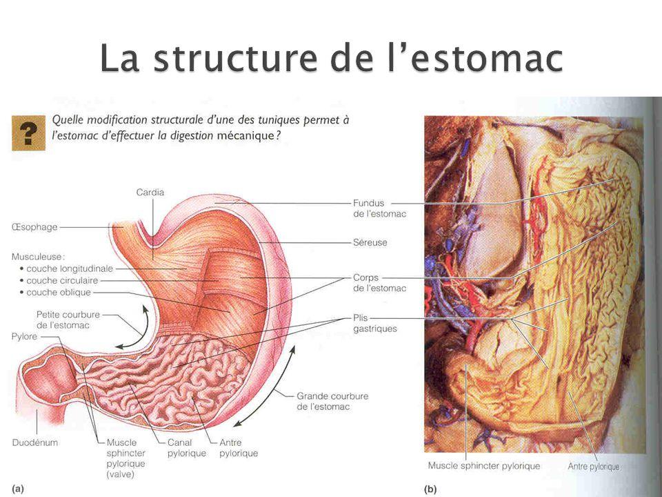 La structure de l'estomac