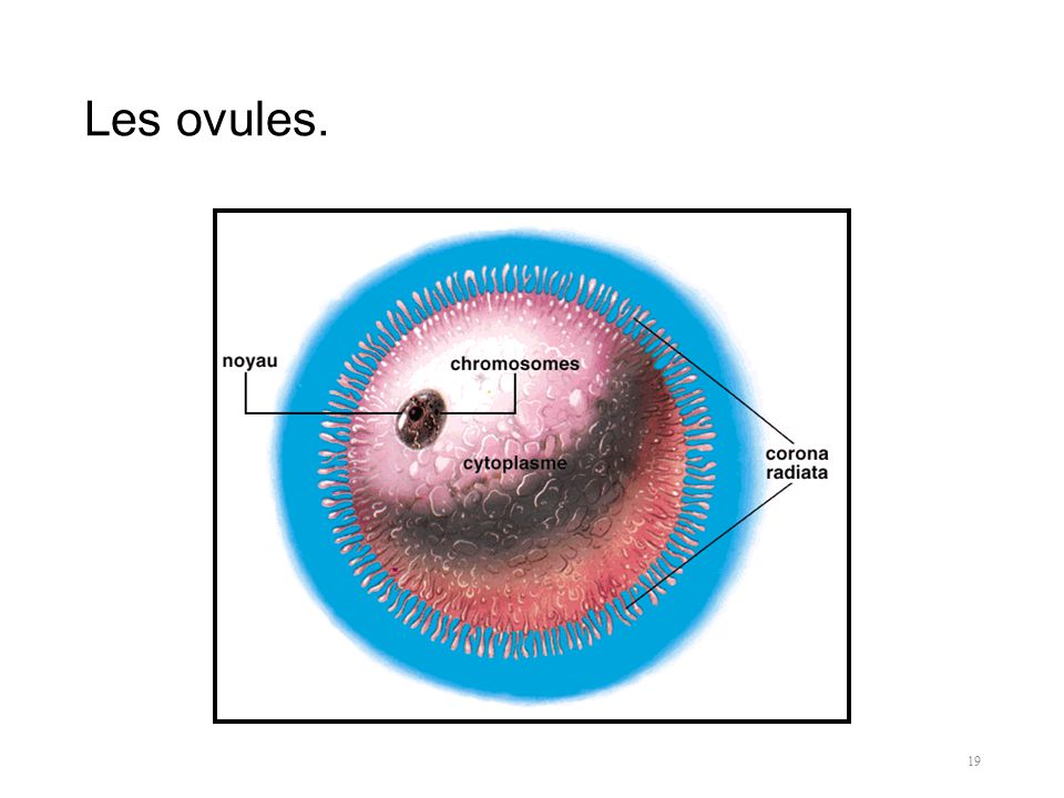 Les ovules.