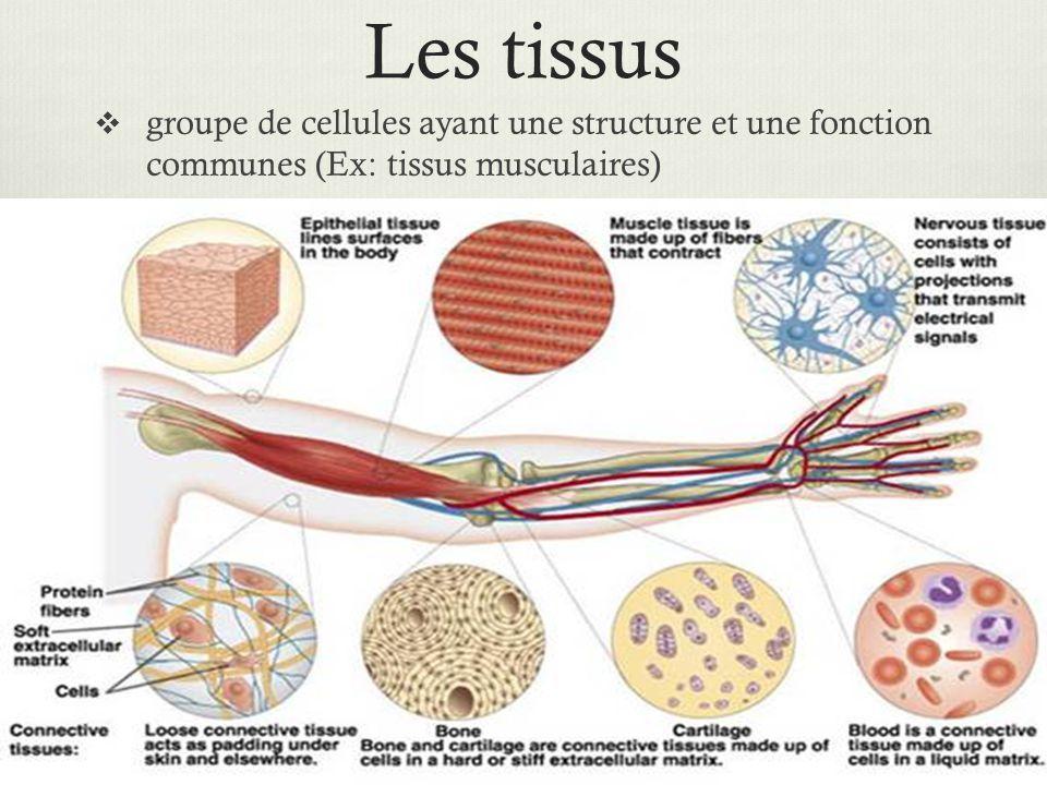 Les tissus groupe de cellules ayant une structure et une fonction communes (Ex: tissus musculaires)