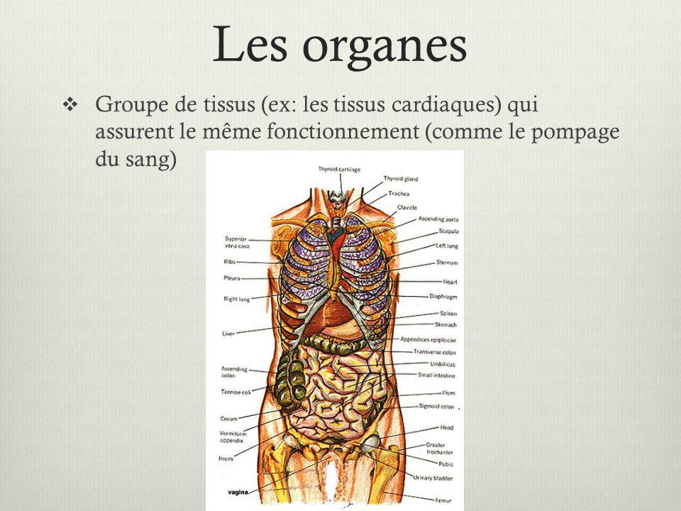 Les organes Groupe de tissus (ex: les tissus cardiaques) qui assurent le même fonctionnement (comme le pompage du sang)