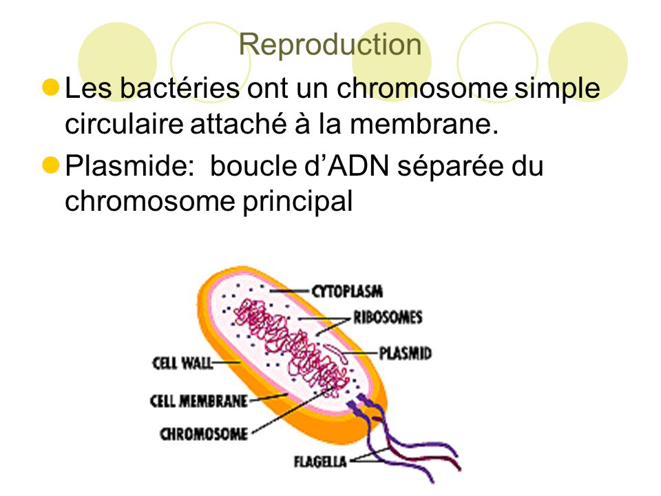 Reproduction Les bactéries ont un chromosome simple circulaire attaché à la membrane.