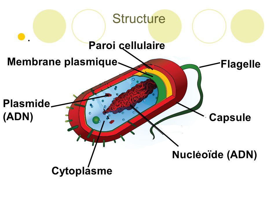 Structure . Paroi cellulaire Membrane plasmique Flagelle Plasmide