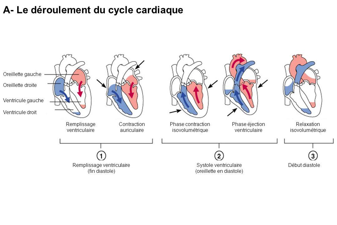 A- Le déroulement du cycle cardiaque