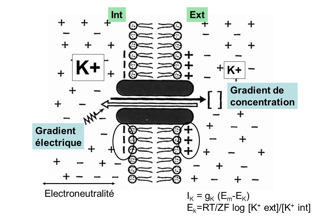 K+ K+ Int Ext Gradient de concentration Gradient électrique