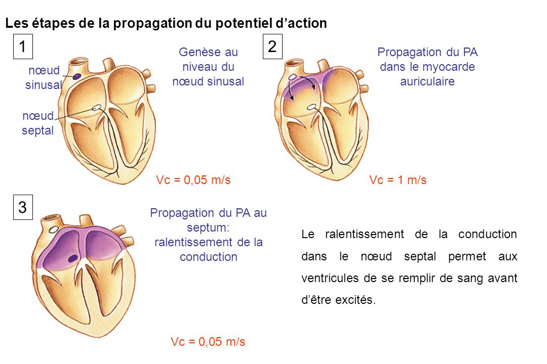 1 2 3 Les étapes de la propagation du potentiel d'action