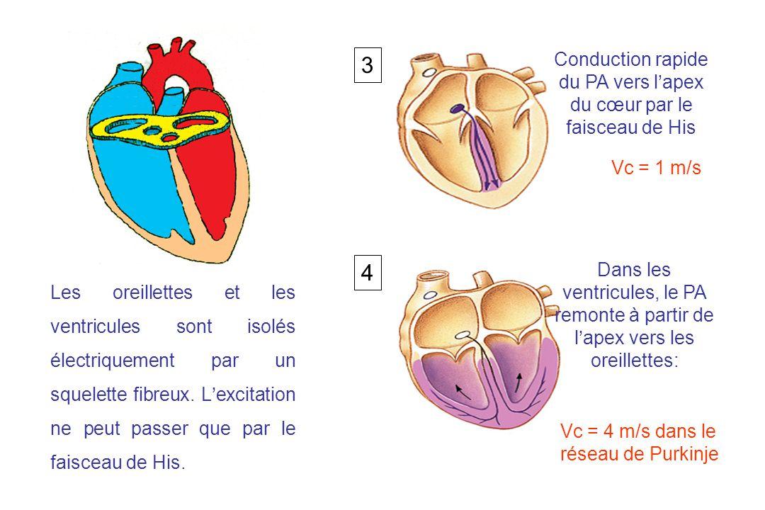 Conduction rapide du PA vers l'apex du cœur par le faisceau de His