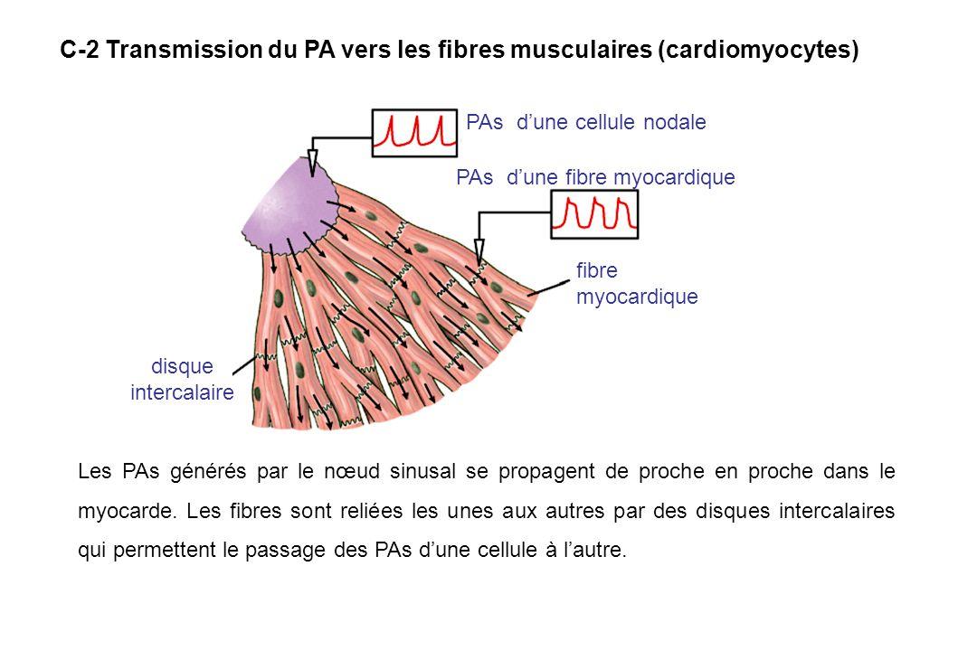 C-2 Transmission du PA vers les fibres musculaires (cardiomyocytes)