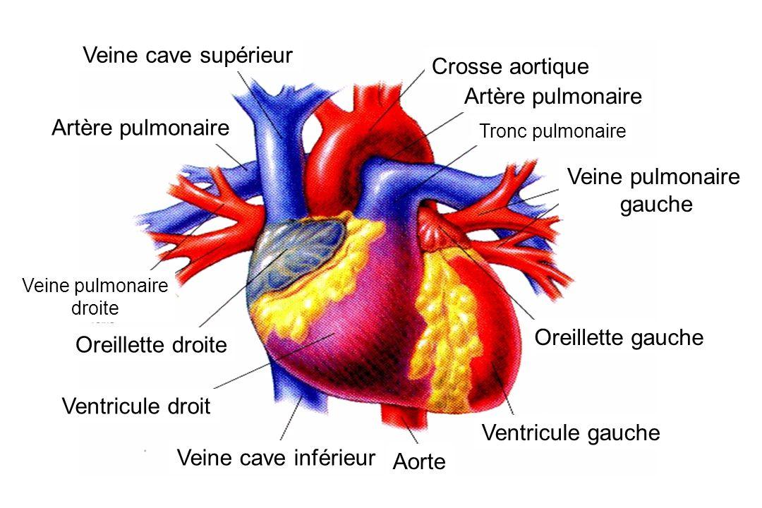 Veine cave supérieur Crosse aortique Artère pulmonaire