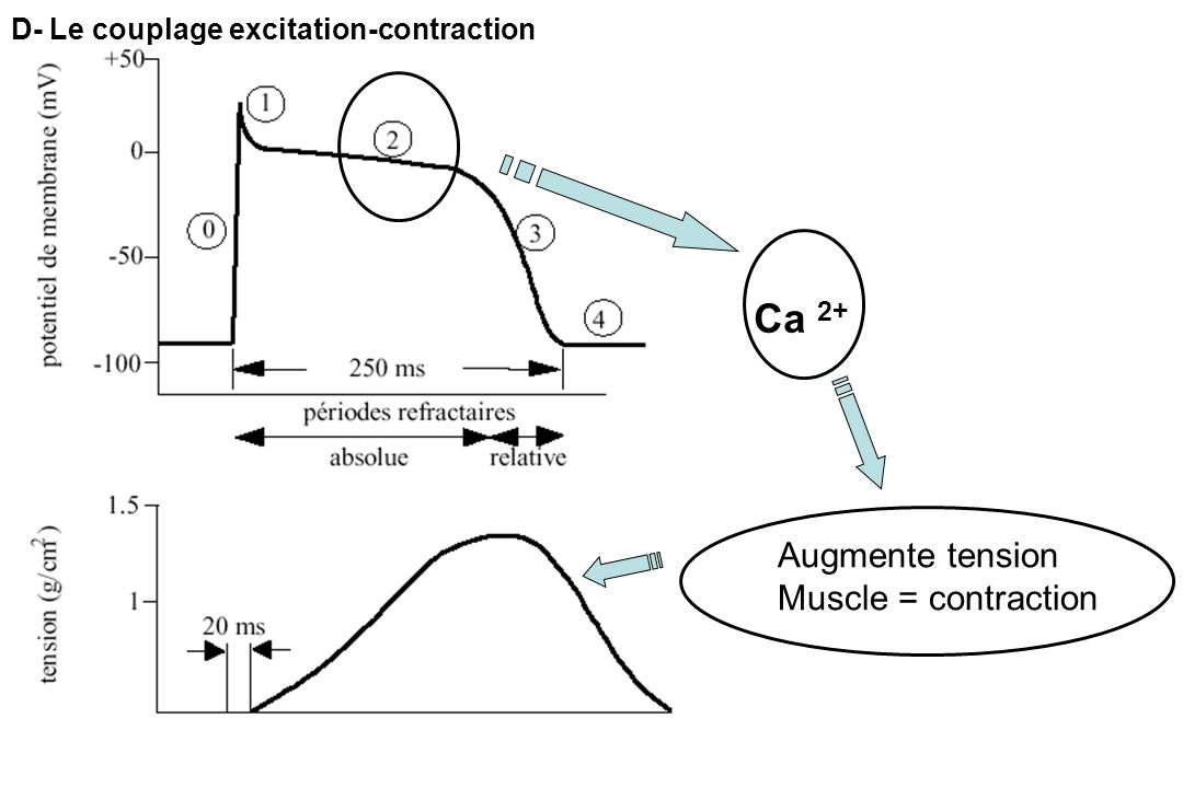 Ca 2+ Augmente tension Muscle = contraction