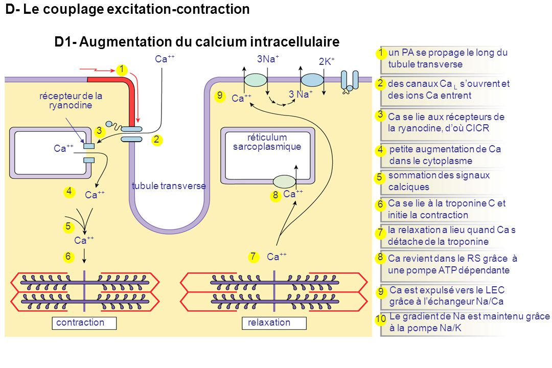 D- Le couplage excitation-contraction
