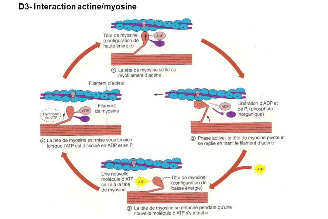 D3- Interaction actine/myosine
