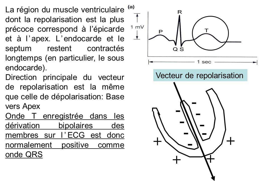 La région du muscle ventriculaire dont la repolarisation est la plus précoce correspond à l'épicarde et à l'apex. L'endocarde et le septum restent contractés longtemps (en particulier, le sous endocarde).