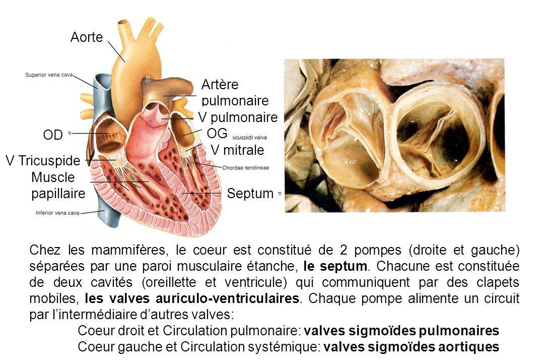 Aorte Artère. pulmonaire. V pulmonaire. OD. OG. V mitrale. V Tricuspide. Muscle. papillaire.