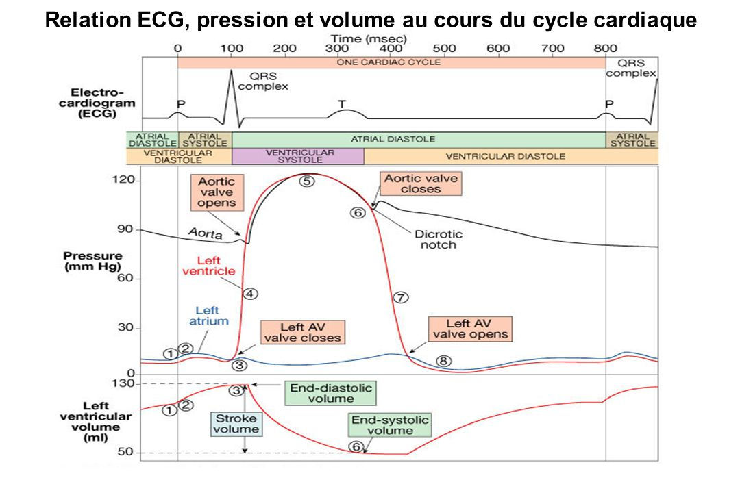Relation ECG, pression et volume au cours du cycle cardiaque