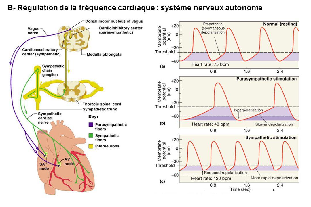 B- Régulation de la fréquence cardiaque : système nerveux autonome