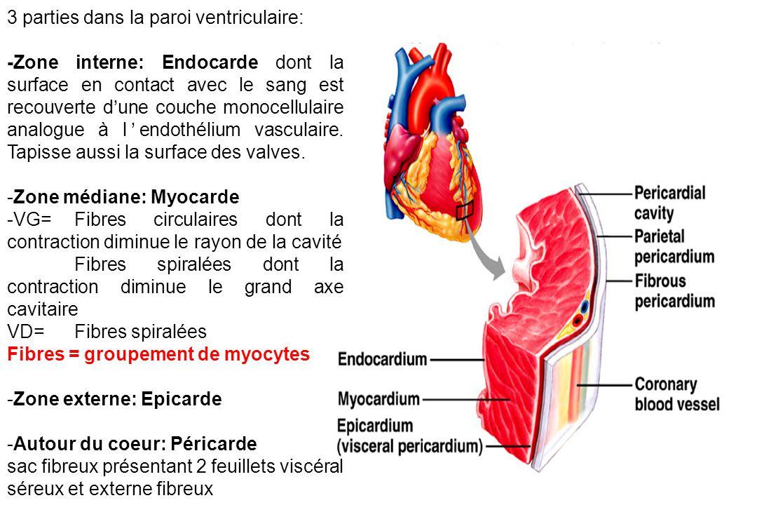 3 parties dans la paroi ventriculaire: