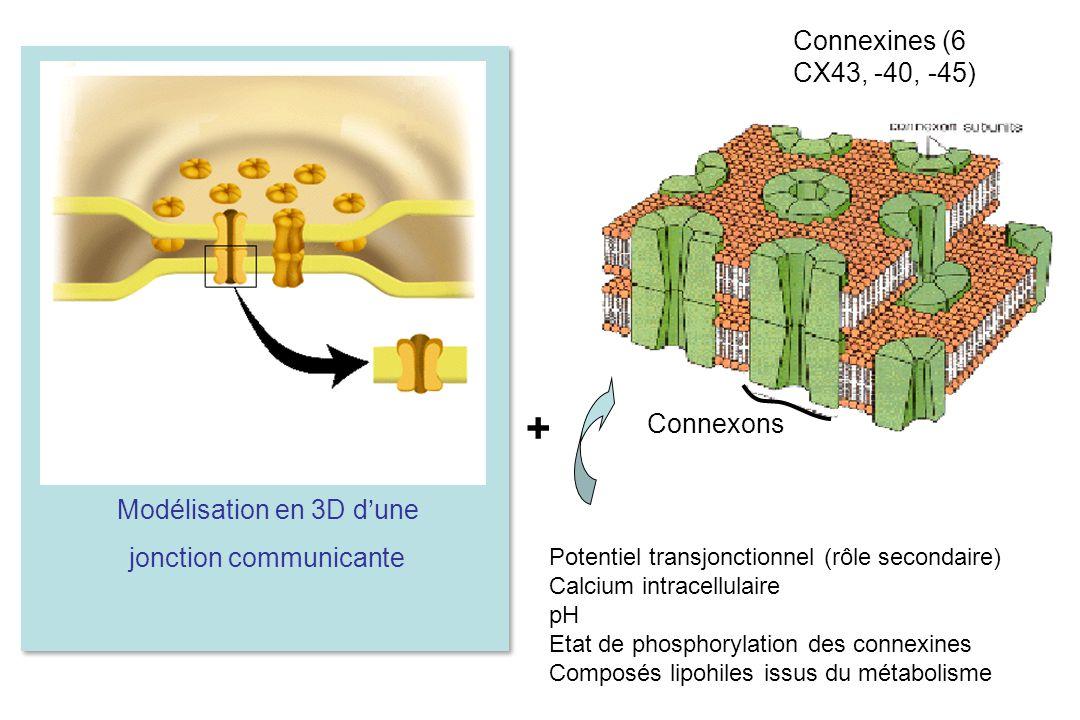 + Connexines (6 CX43, -40, -45) Connexons Modélisation en 3D d'une
