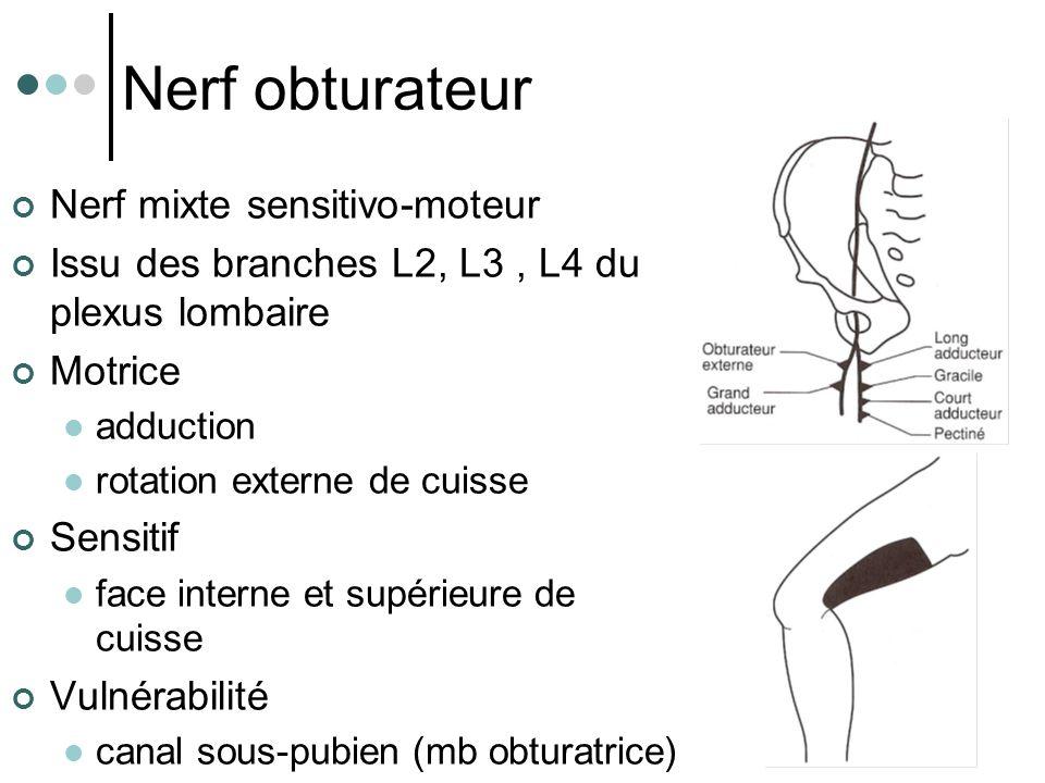 Nerf obturateur Nerf mixte sensitivo-moteur