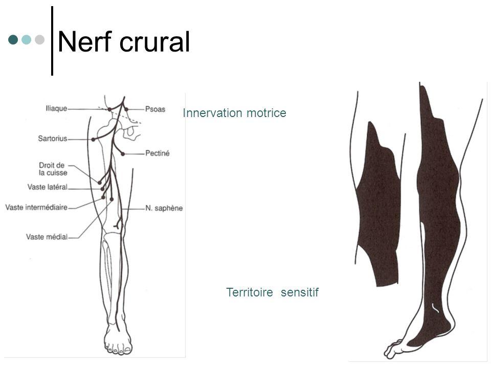 Nerf crural Innervation motrice Territoire sensitif