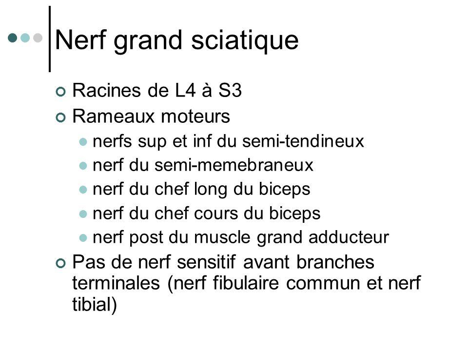 Nerf grand sciatique Racines de L4 à S3 Rameaux moteurs