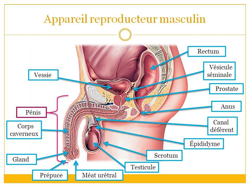 Rectum Vésicule séminale. Vessie. Prostate. Anus. Pénis. Canal déférent. Corps caverneux. Épididyme.