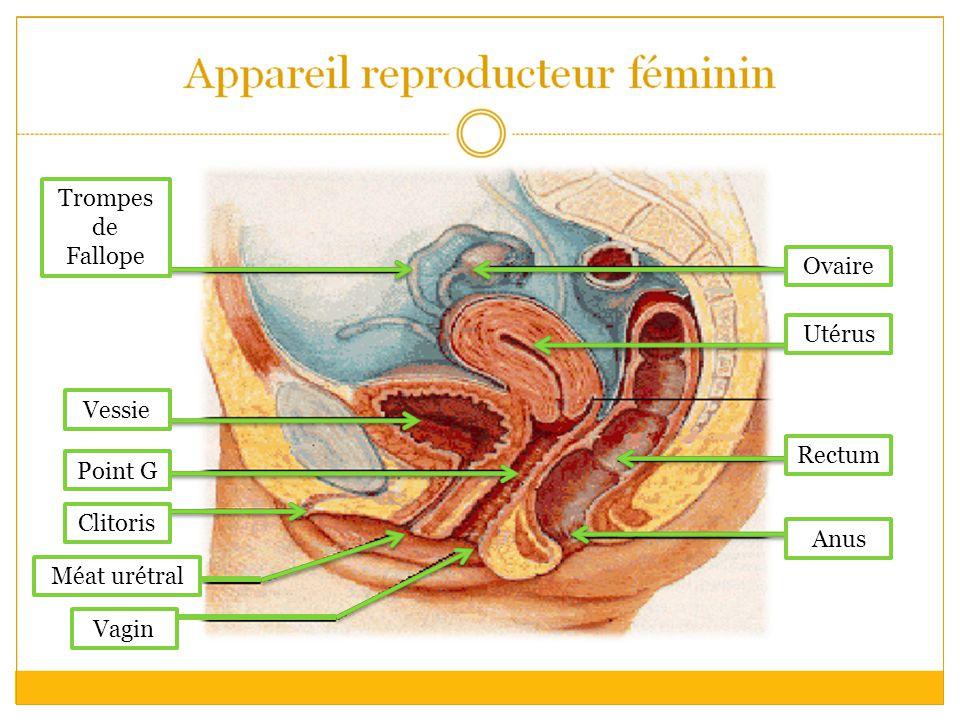 Trompes de Fallope Ovaire Utérus Vessie Rectum Point G Clitoris Anus Méat urétral Vagin