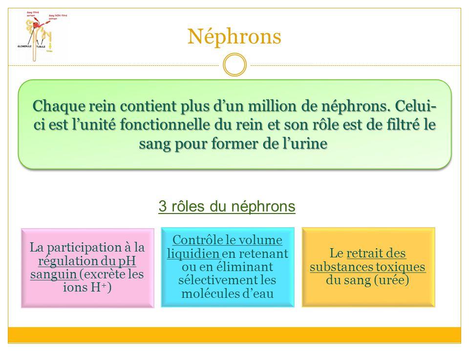 Néphrons