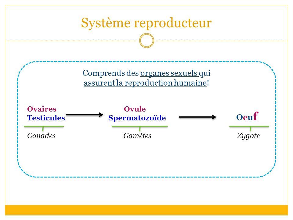 Système reproducteur Comprends des organes sexuels qui