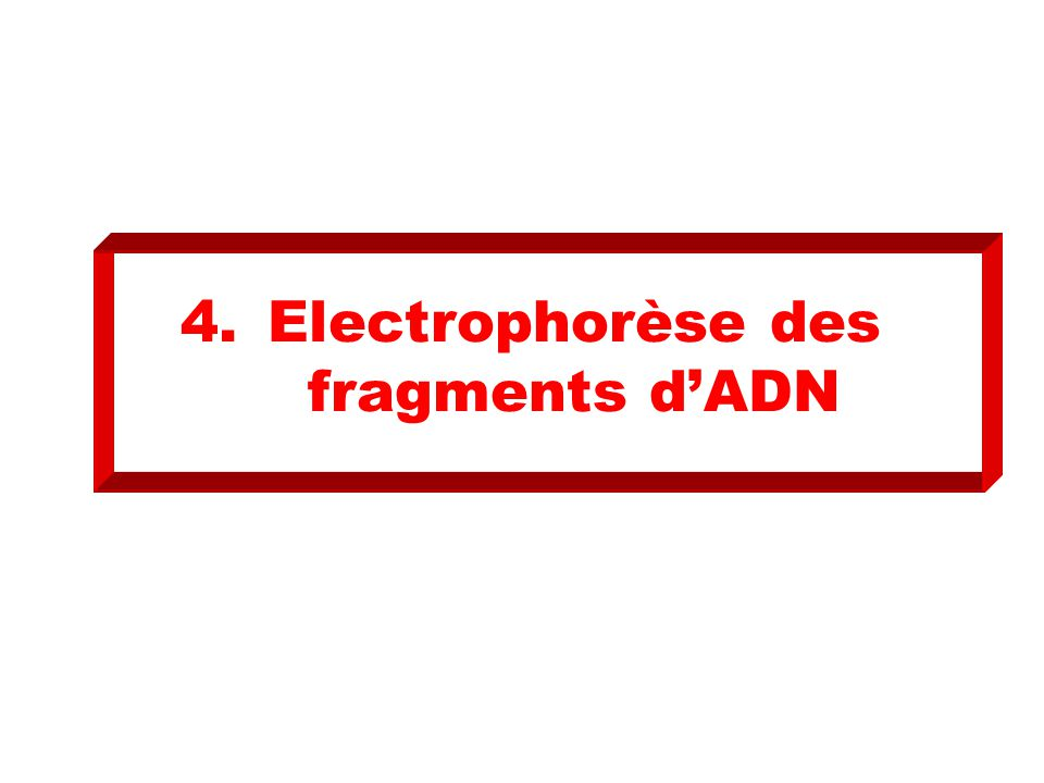 Electrophorèse des fragments d'ADN