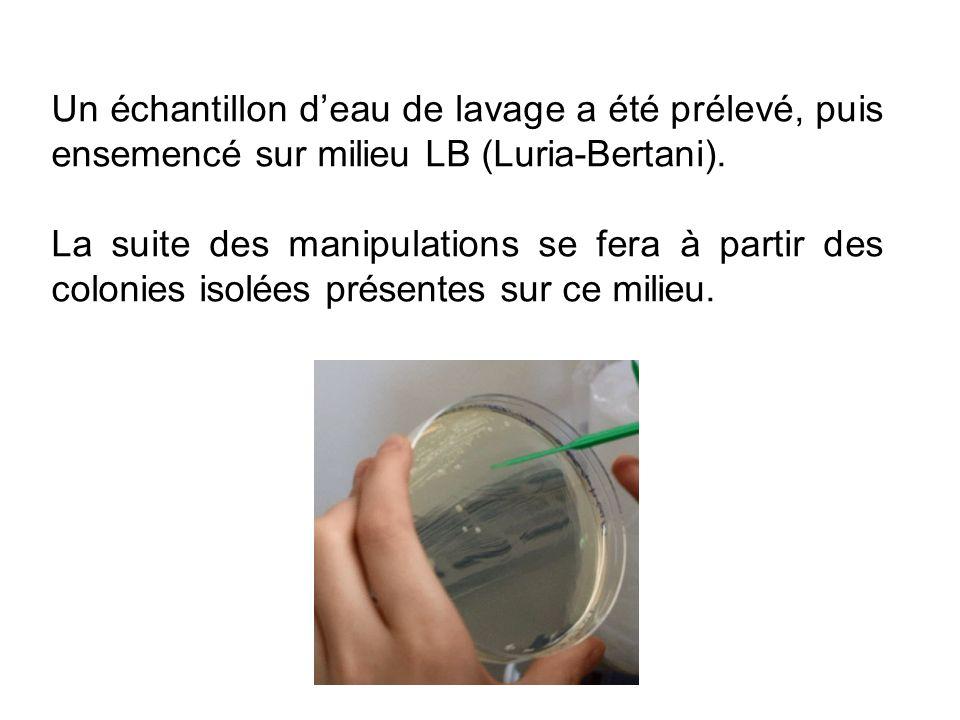 Un échantillon d'eau de lavage a été prélevé, puis ensemencé sur milieu LB (Luria-Bertani).