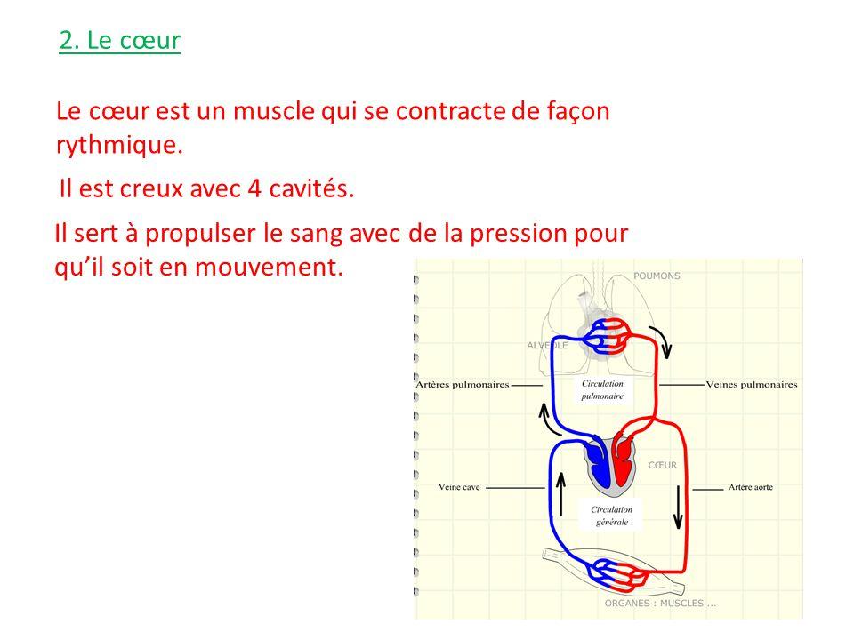 2. Le cœur Le cœur est un muscle qui se contracte de façon rythmique. Il est creux avec 4 cavités.