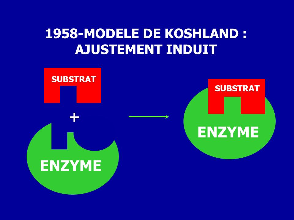 1958-MODELE DE KOSHLAND : AJUSTEMENT INDUIT